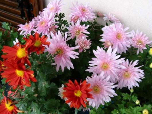 crisantemi_a_fiore_d_anemone_perfettamente_chic