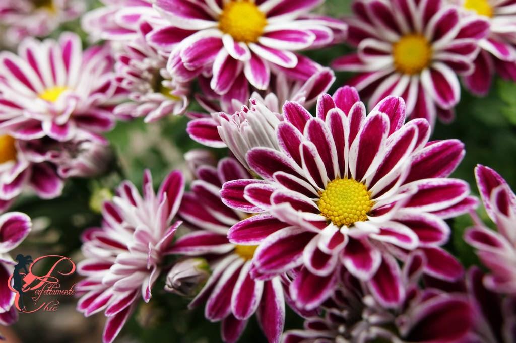 crisantemi forse non sai che perfettamente chic