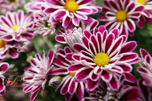 crisantemi_a_margherita_perfettamente_chic