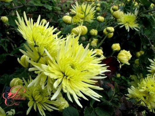 crisantemi_a_ragno_perfettamente_chic