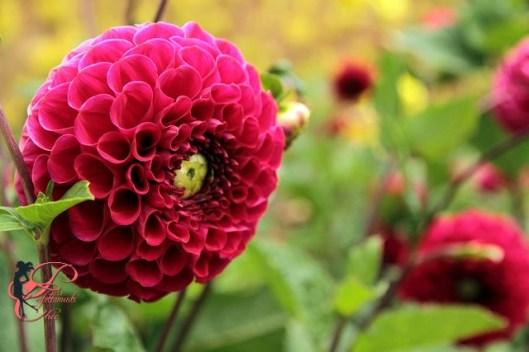 crisantemi_pompom_perfettamente_chic