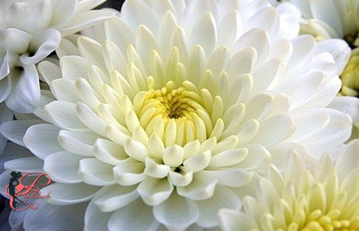 crisantemo_bianco_perfettamente_chic