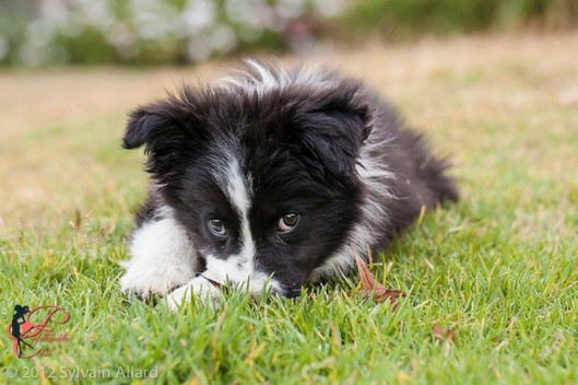 Border Collie _perfettamente_chic_3